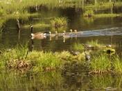 Blandings Turtles (et.al.) and Geese