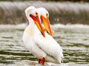 Pelicans a deux