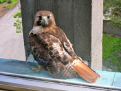Rita the Red-Tailed Hawk
