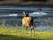 Deer wants to go waterskiing.
