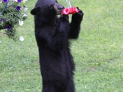 Young bear found the sugar water!