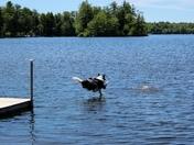 Bandit going for a perfect landing in Lake Winnipesaukee in Moultonborough