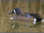 Blue-winged Teal (m)