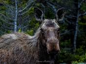 Newfie Moose