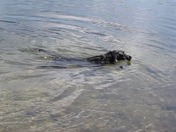 Our dog Reggie goes under water for a rock.