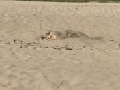 Logger head turtle laying eggs on bob graham beach