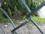 Close encounter with iguana