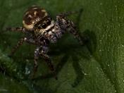 Jumping Spider on Leaf