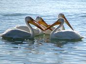pelican's