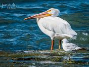 Sheboygan Pelicans