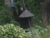 Bear in Saco