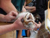 Barn Owl banding