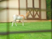 piebald deer fairfield oh