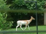 piebald deer