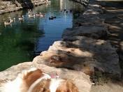 Nala and the ducks and geese