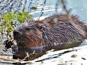 Beaver in Algonquin Park.