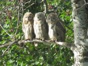 Great Horned Owlet - Triplets