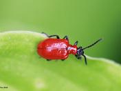 Scarlet Lily Beetle.