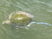 Dead Turtle Covered in Toxic Green Algae