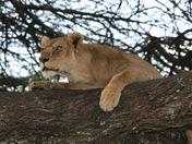 Lion on tree