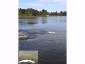 Rare albino alligator on Lake Dora