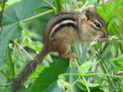 Chipper Chipmunk