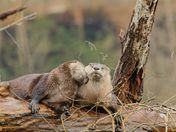 Two River Otters Having a Moment