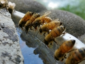 Thirsty Honey Bees NH Drought