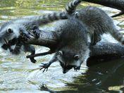 Raccoon Kits Fooling Around