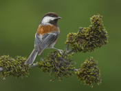 3b. Chestnut backed Chickadee