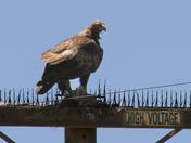 Watsonville golden eagle