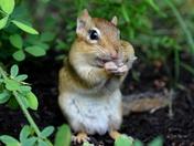 Cheeky Chipmunk!