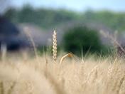 Single stalk of wheat in morning light