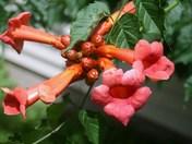 HUMMINGBIRD'S FAVORITE FLOWER