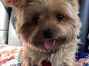 Stolen rescue foster dog