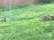 Bobcat babies play in Placitas backyard!