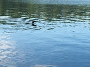 Loon on Pone River Pond