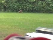 Coyote!