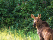 Modeling Moose Calf