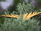 Monarch Butterfly in the Pines
