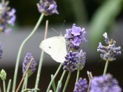 White moth in the lavendar