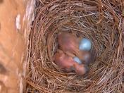 Bluebird Quadruplets Hatching!
