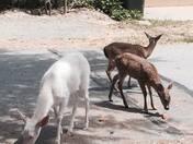 Albino Deer of Monterey and Babies