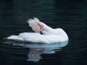 """Dancing """"Swan"""""""