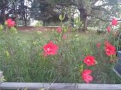 Texas Hibiscus