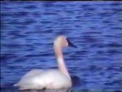 MATING PAIR OF TRUMPETER SWANS