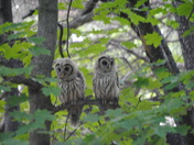 Barred Owls_Bristol VT