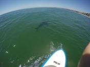Rio Del Mar White Shark