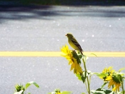 Finches Enjoying a Summer Day