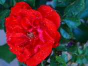 A morning Rose